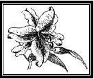 Lilies Tasmania